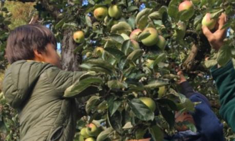 Apple Harvest at the Landheim